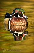 Wood Duck Reflection